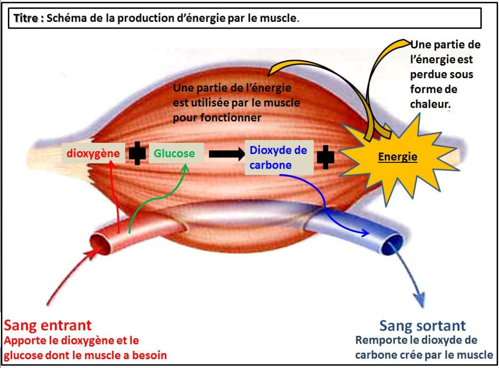 schéma energie muscle